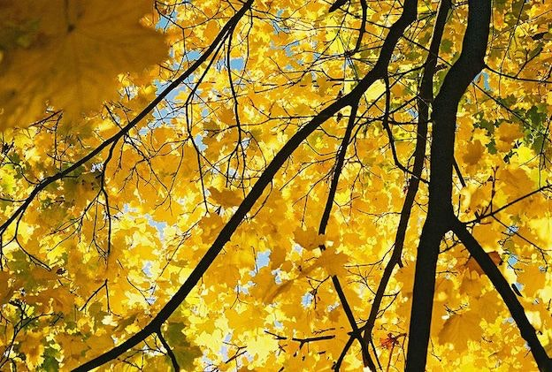 800px-Yellow-maple