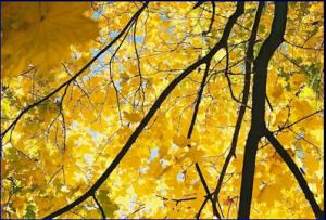 Feuilles jaunes de l'arbre