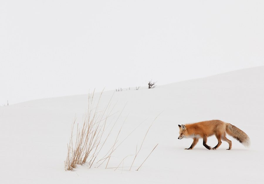 whitespace photo with a fox in snow