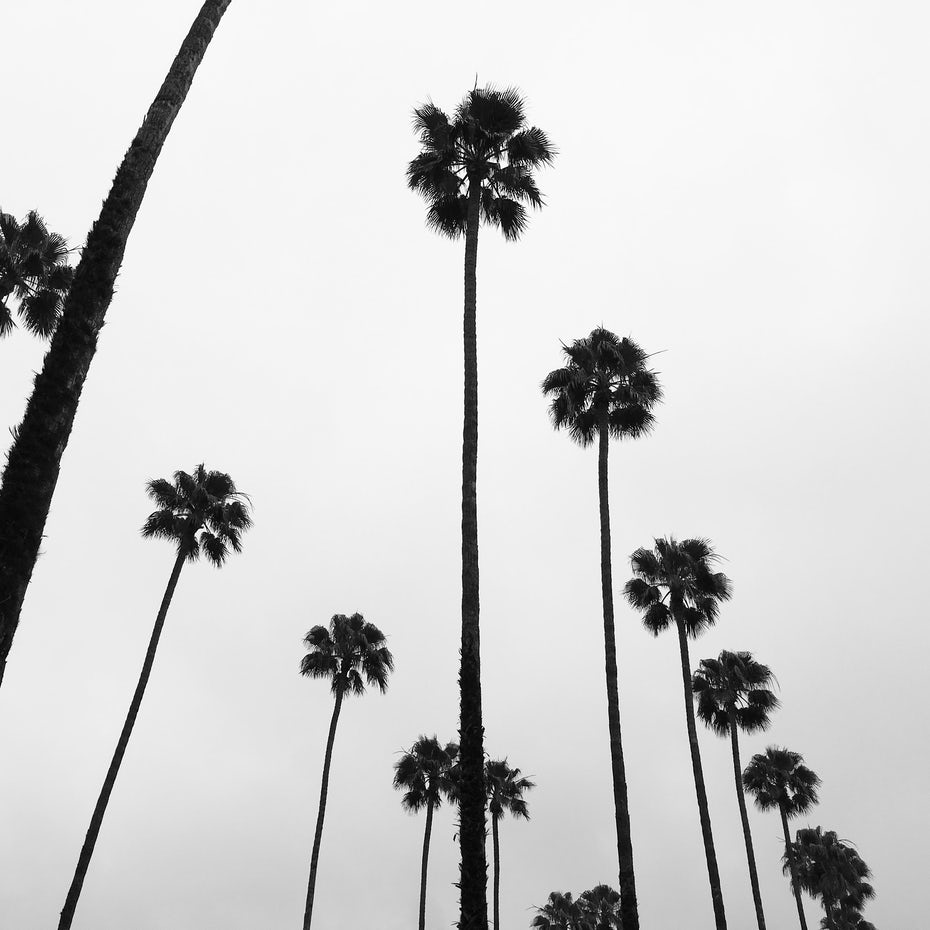 Black and white photograph of palm trees