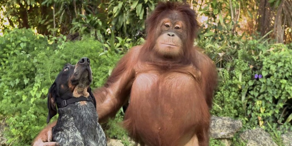 A dog and a orangutan are friends