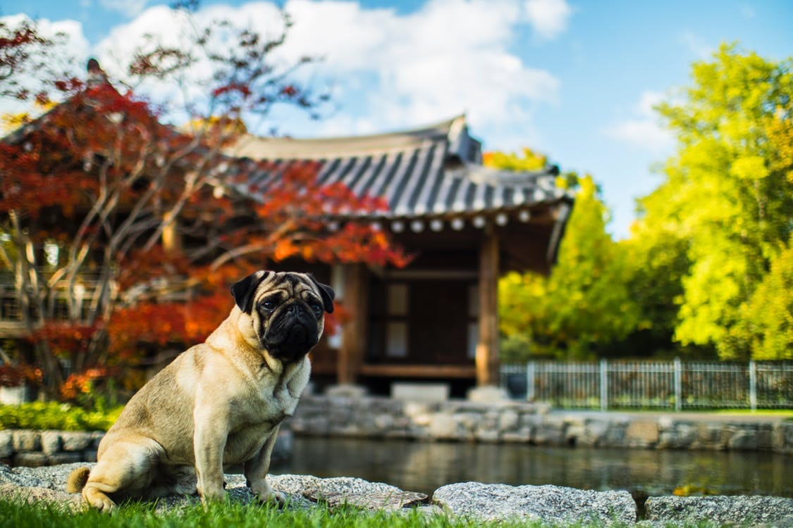 A pug dog poses in front of a traditional Japanese building.