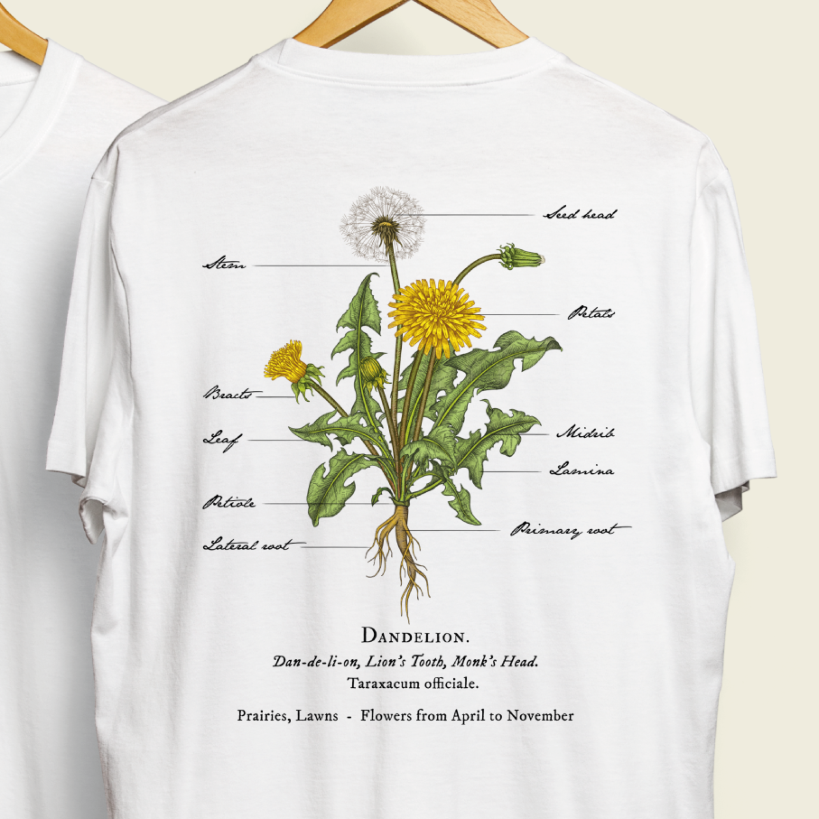 Clinical looking illustration of Dandelion plant