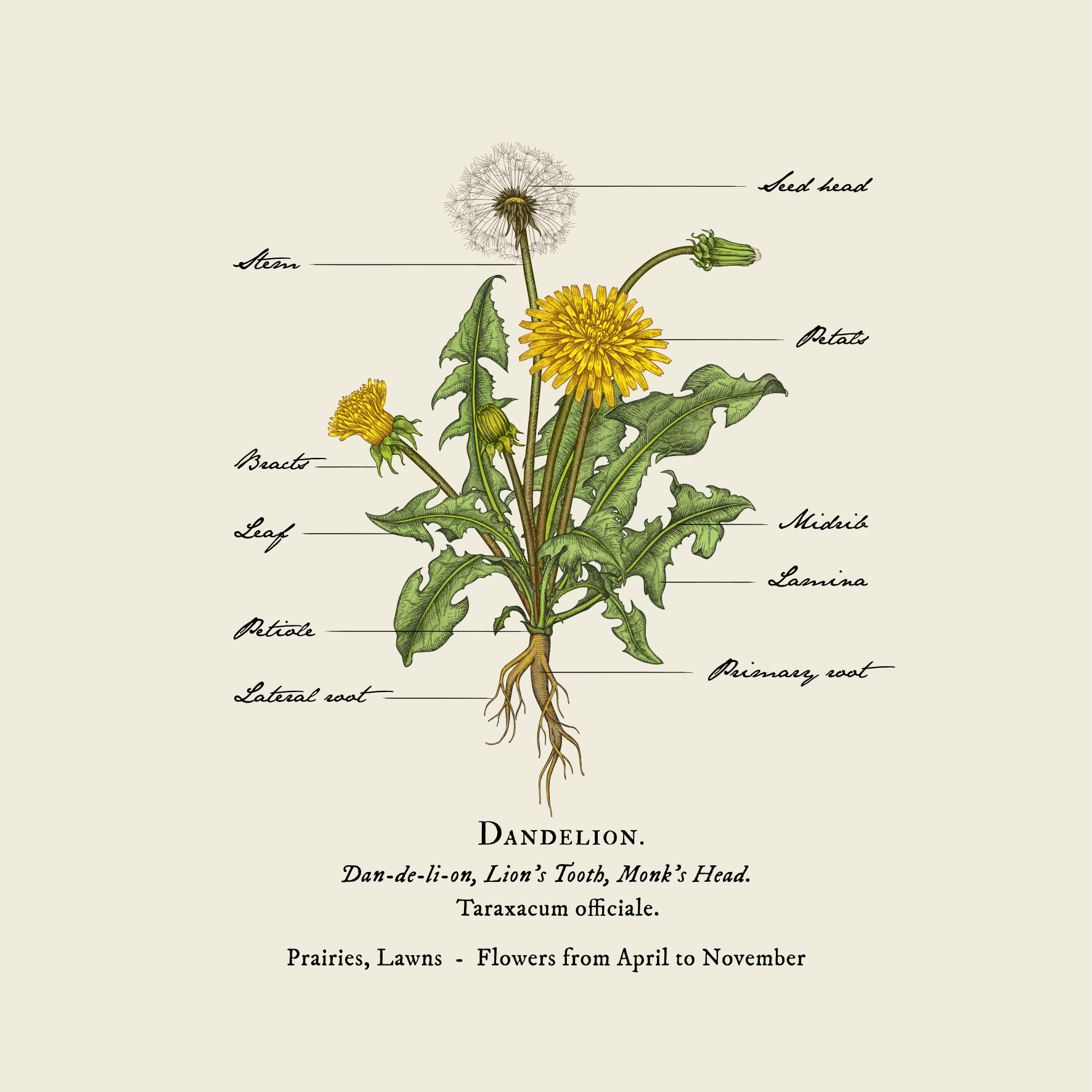 Diagram of dandelion